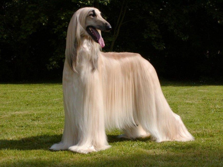 perros raza afgano