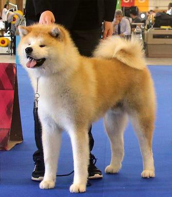 perros raza akita