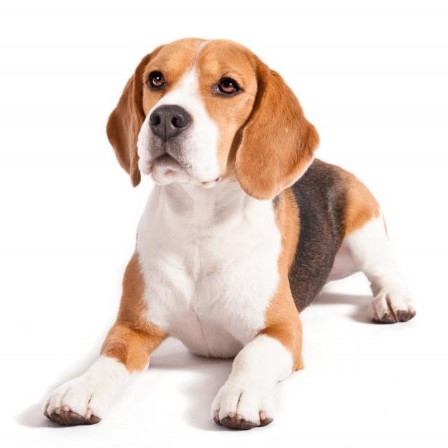 perros raza beagle