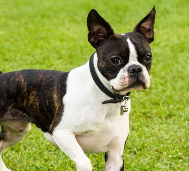 perros raza boston terrier