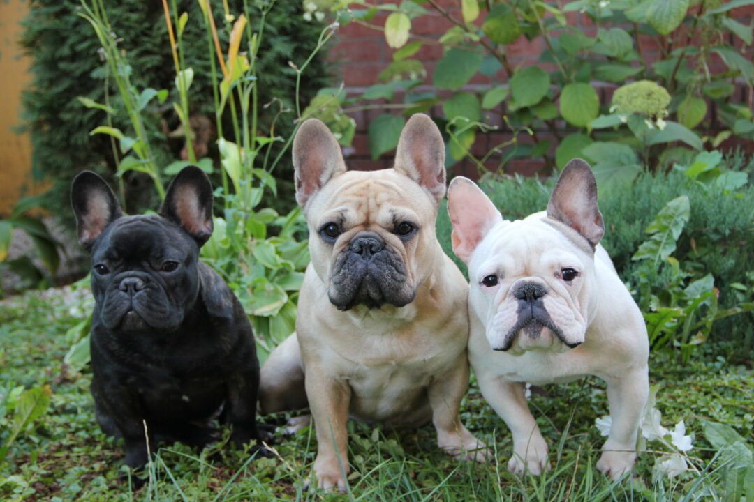 perros raza bulldog frances
